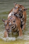 2-tigers-thailand